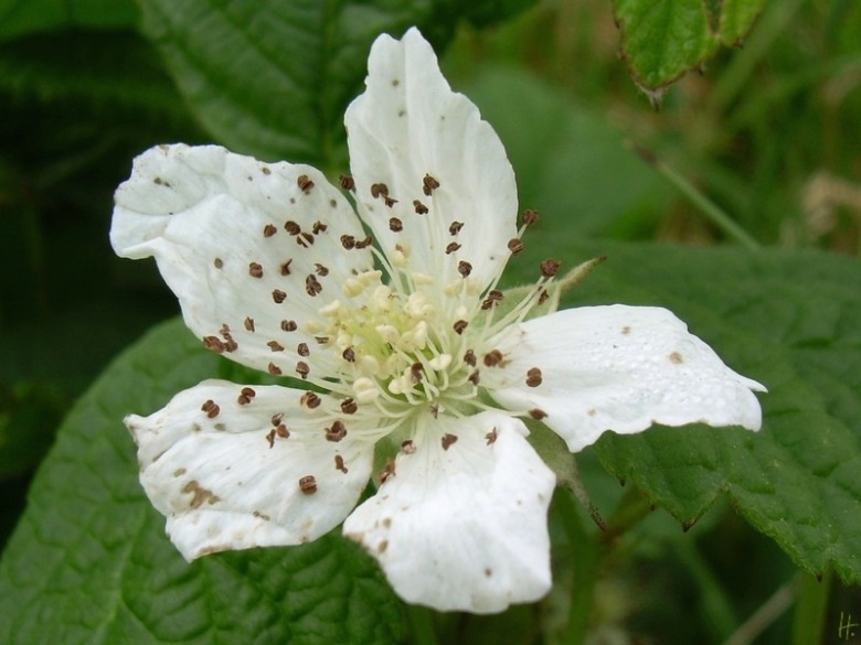 2012-06-09-LchowSss-005-Kratzbeerenblte_Rubus-caesius.jpg