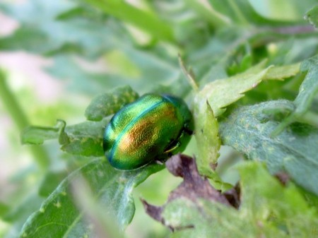 2012-06-12 LüchowSss Minzeblattkäfer (Chrysolina herbacea)