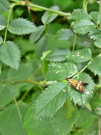 2012-06-13 LüchowSss 01 Langfühlermotte Degeers Langfühler (Nemophora degeerella), Longhorn Moth