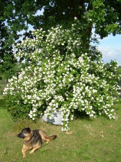 2012-06-14 LüchowSss Garten 01-084 Pfeifenstrauch+Bongo+Eiche+Zinkwanne