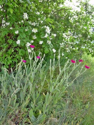2012-06-14 LüchowSss Garten 02-114 Vexiernelke_Kronen-Lichtnelke_Lychnis-coronaria+Pfeifenstrauch