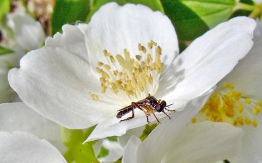 2012-06-14 LüchowSss Garten 12-092 Pfeifenstrauch+Fliege