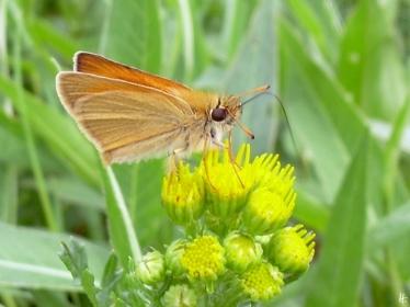 2012-07-08 bRebenstorf 245 Braunkolbiger Braun-Dickkopffalter – Thymelicus sylvestris