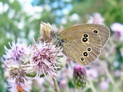 q2012-07-16 LüchowSss 387 BraunerWaldvogel_Aphantopus-hyperantus+Acker-Kratzdistel_Cirsium-arvense