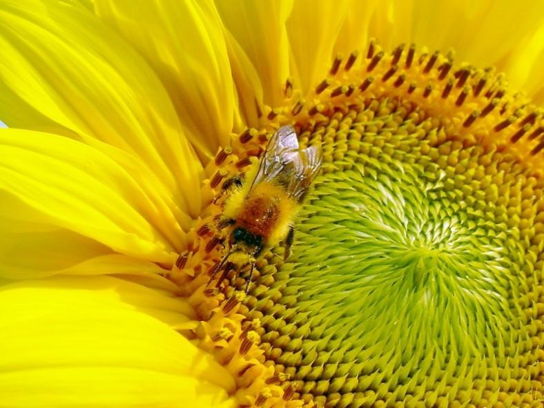 2012-08-26 LüchowSss Sonnenblumen 11