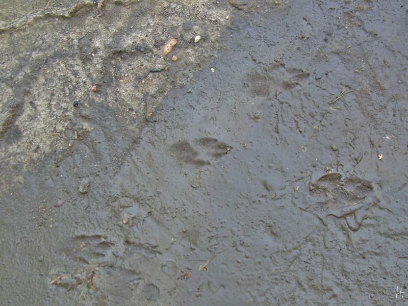 2012-09-02 bWoltersdorf 442 Tierspuren_Igel