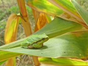 2012-09-23 Lüchow_Maisfeld 03 IMG_0298 Laubfrosch_common tree frog [Hyla arborea]