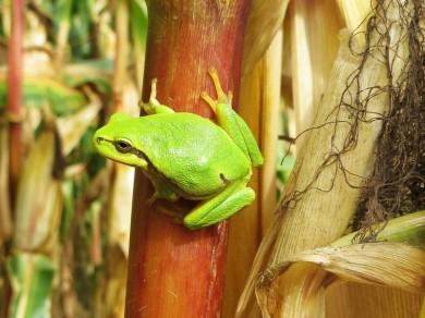 2012-09-23 Lüchow_Maisfeld 05 IMG_0301A Laubfrosch_common tree frog [Hyla arborea]