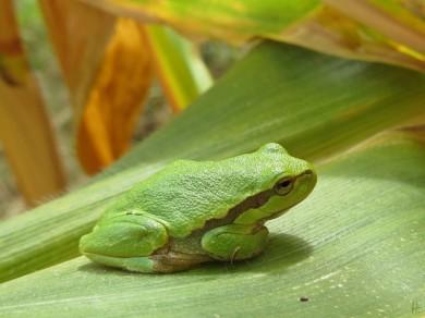 2012-09-23 Lüchow_Maisfeld 06 IMG_0297 Laubfrosch_common tree frog [Hyla arborea]