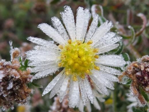 2012-11-15 LSssGarten Frost190 WeisseMyrtenaster