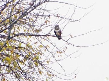 Ein Mäusebussard im Kirschbaum |  2012/11/25 von puzzle* (1 von 4 Fotos vom 17. November 2012 am Königshorster Kanal)