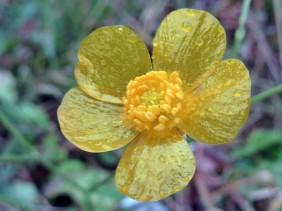 2012-11-18 LüchowSss 183 Acker-Hahnenfuß (Ranunculus arvensis)