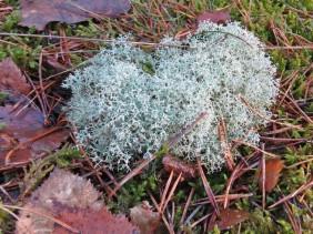Islandmoos oder eine Flechte der Cladonia-Gattung?