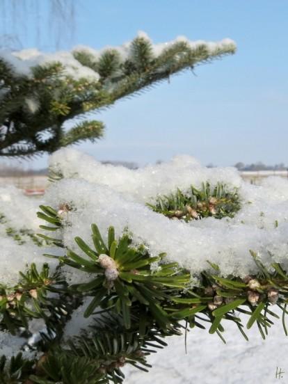 Schnee auf der Tanne ...