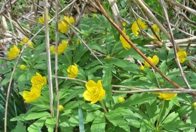 Gelbe Windröschen (Anemone ranunculoides)