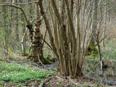 2013-04-19 bHoyersburg_SalzwedelerBürgerholz 220 Buschwindröschen+Sumpf
