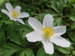 Buschw3indröschen (Anemone nemorosa)