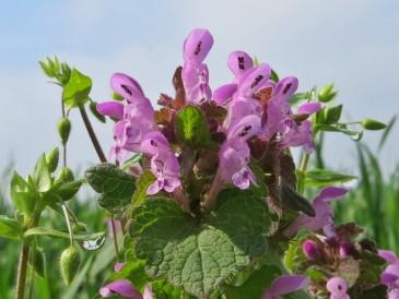 Purpurrote Taubnessel - Lamium purpureum