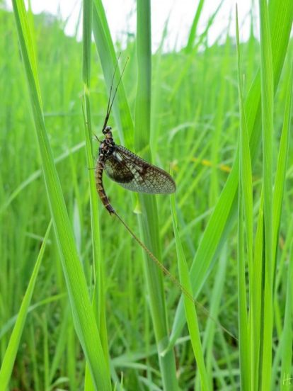 Gemeine Eintagsfliege (Ephemera vulgata)