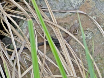 Waldeidechse (Zootoca vivipara)