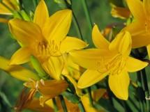 Taglilie - Hemerocallis Hybride
