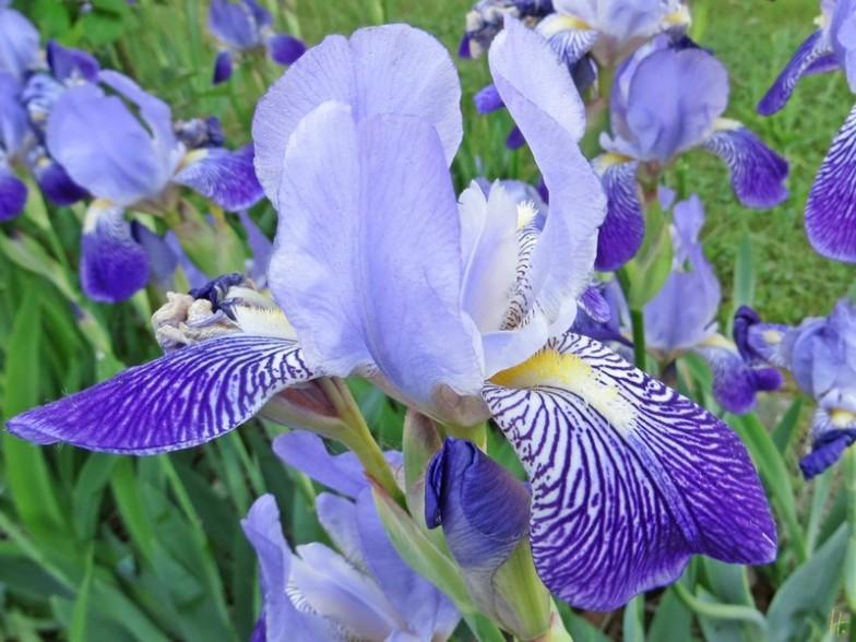 Schwertlilie - Bartiris - (Iris × germanica)