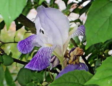Bartiris - Iris barbata