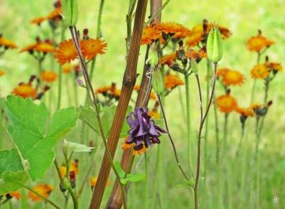 Akelei (Aquilegia) & Orangerotes Habichtkraut (Hieracium aurantiacum)