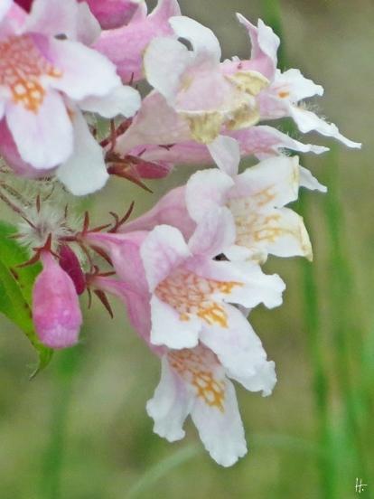 Kolkwitzie oder auch 'Perlmuttstrauch', Kolkwitzia amabilis