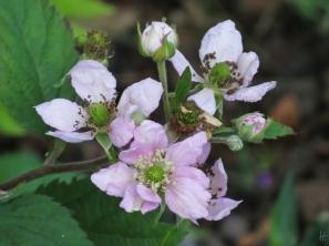 rosa Blüten einer stachellosen Garten-Brombeere