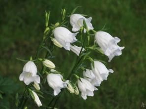 Pfirsichblättrige Glockenblumen in Weiss