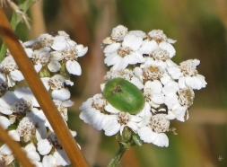 Grüner Schildkäfer (Cassida viridis) auf Schafgarbe