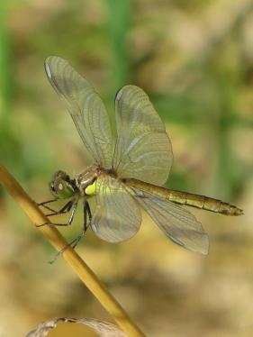 Gewöhnliche Heidelibelle (Sympetrum vulgatum)