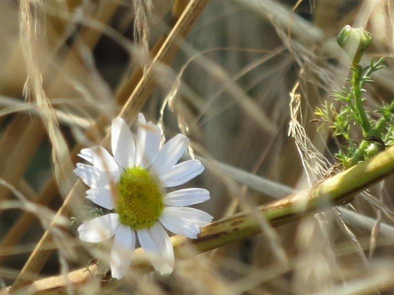 Kamille im Feld