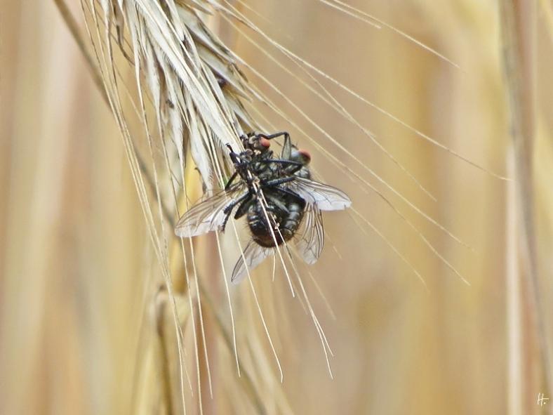 Fliegensex im Gerstenfeld