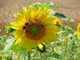Sonnenblume mit Erdhummeln