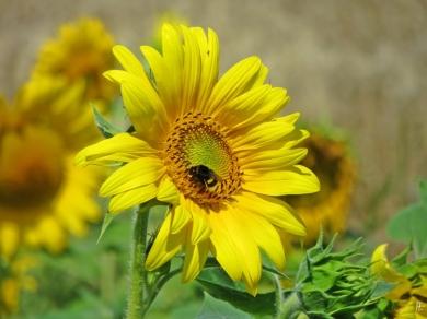... eine weitere Sonnenblume ....