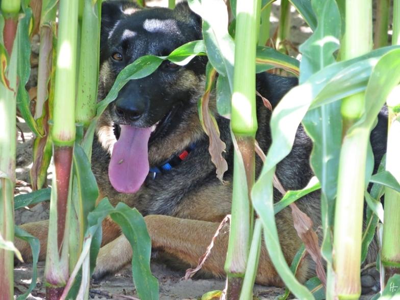 Bongo hat sich wieder in einem Maisfeld verkrochen und harrt dort aus, während ich fotografiere