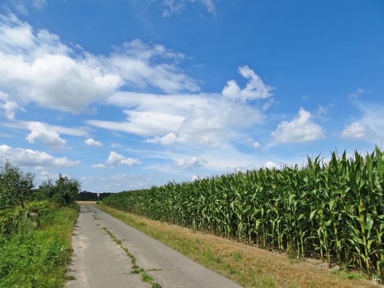der Rückweg - Maisfeld kurz nach Satemin