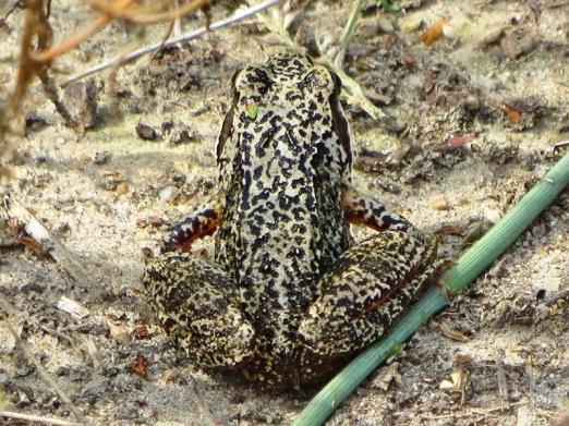 Frosch im Maisfeld