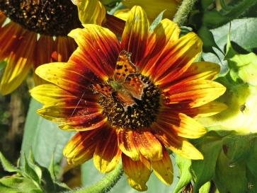 C-Falter (Polygonia c-album; Syn.: Nymphalis c-album) auf Sonnenblume