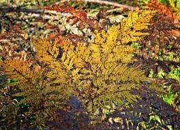 2013-10-19 11h Wald bei Hilpoltstein (022) Adlerfarn (Pteridium aquilinum)