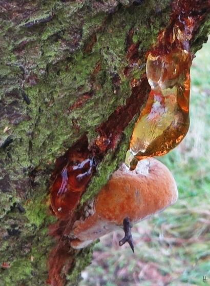 """""""Blutender"""" Schlehdorn (Prunus spinosa) mit Pflaumen-Feuerschwamm (Phellinus tuberculosus)"""