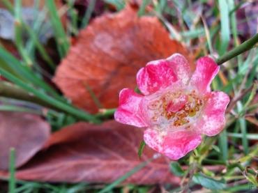 Trotz Frost und Schnee immer noch blühende Zwergrose 'Lupo' im Garten.