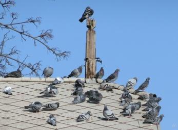 Stadttauben auf dem Dach des alten Spartakus-Bootshauses