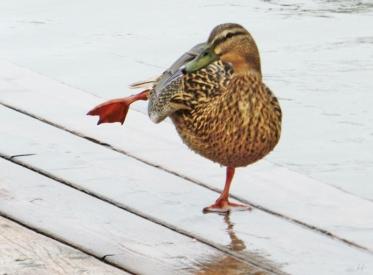 2014-02-21 Neusiedl am See 1692 Ente an der Mole West