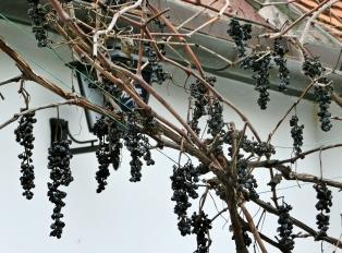 2014-02-23 Ausflug zum Balaton CIMG1908 Tihany Weintrauben
