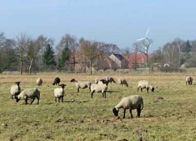 2014-03-09 Jeetzel 085 Schafe