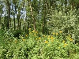 2014-08-08 Györ vormittag CIMG2977 Auwald am Deich der Mosoni Duna