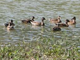 2014-08-08 Györ vormittag CIMG2984 Enten auf der Mosoni Duna